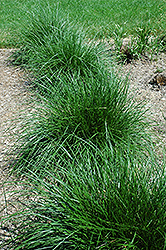Tufted Hair Grass (Deschampsia cespitosa) at Make It Green Garden Centre