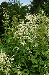 Goatsbeard (Aruncus dioicus) at Make It Green Garden Centre