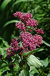 Swamp Milkweed (Asclepias incarnata) at Make It Green Garden Centre