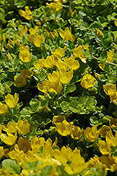 Creeping Jenny (Lysimachia nummularia) at Make It Green Garden Centre