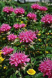 Marshall's Delight Beebalm (Monarda 'Marshall's Delight') at Make It Green Garden Centre