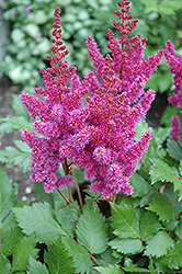 Visions Astilbe (Astilbe chinensis 'Visions') at Make It Green Garden Centre
