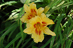 Black Eyed Stella Daylily (Hemerocallis 'Black Eyed Stella') at Make It Green Garden Centre