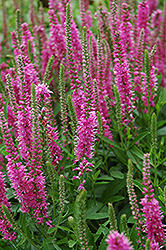 Red Fox Speedwell (Veronica spicata 'Red Fox') at Make It Green Garden Centre