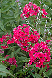 Starfire Garden Phlox (Phlox paniculata 'Starfire') at Make It Green Garden Centre