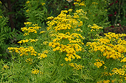 Isla Gold Tansy (Tanacetum vulgare 'Isla Gold') at Make It Green Garden Centre