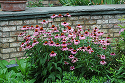 Magnus Coneflower (Echinacea purpurea 'Magnus') at Make It Green Garden Centre