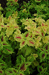 Amazon Coleus (Solenostemon scutellarioides 'Amazon') at Make It Green Garden Centre