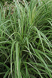 Variegated Silver Grass (Miscanthus sinensis 'Variegatus') at Make It Green Garden Centre