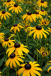 Goldsturm Coneflower (Rudbeckia fulgida 'Goldsturm') at Make It Green Garden Centre