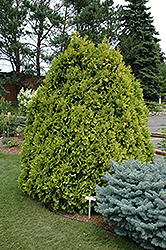 Sunkist Arborvitae (Thuja occidentalis 'Sunkist') at Make It Green Garden Centre