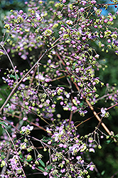 Rochebrun Meadow Rue (Thalictrum rochebrunianum) at Make It Green Garden Centre