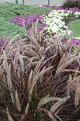 Purple Fountain Grass (Pennisetum setaceum 'Rubrum') at Make It Green Garden Centre