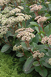 Matrona Stonecrop (Sedum 'Matrona') at Make It Green Garden Centre