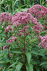 Joe Pye Weed (Eupatorium maculatum) at Make It Green Garden Centre