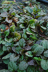 Bronze Beauty Bugleweed (Ajuga reptans 'Bronze Beauty') at Make It Green Garden Centre