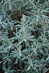 Blue Ice Bog Rosemary (Andromeda polifolia 'Blue Ice') at Make It Green Garden Centre