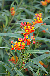 Red Butterfly Milkweed (Asclepias curassavica 'Red Butterfly') at Make It Green Garden Centre