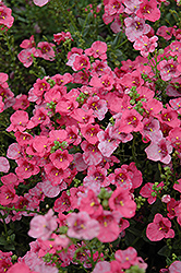 Darla Rose Twinspur (Diascia 'Darla Rose') at Make It Green Garden Centre