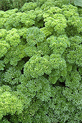 Parsley (Petroselinum crispum) at Make It Green Garden Centre