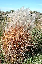 Autumn Red Maiden Grass (Miscanthus sinensis 'Autumn Red') at Make It Green Garden Centre