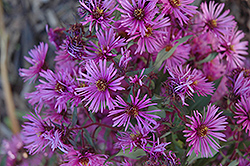 Woods Pink Aster (Aster 'Woods Pink') at Make It Green Garden Centre