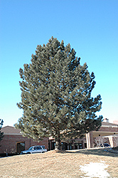 Red Pine (Pinus resinosa) at Make It Green Garden Centre