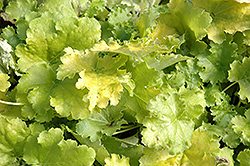 Lime Rickey Coral Bells (Heuchera 'Lime Rickey') at Make It Green Garden Centre