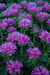 Petite Delight Beebalm (Monarda 'Petite Delight') at Make It Green Garden Centre
