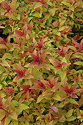 Goldflame Spirea (Spiraea x bumalda 'Goldflame') at Make It Green Garden Centre