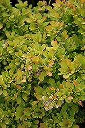 Sunsation Japanese Barberry (Berberis thunbergii 'Sunsation') at Make It Green Garden Centre