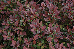 Royal Burgundy Japanese Barberry (Berberis thunbergii 'Gentry') at Make It Green Garden Centre