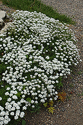 Little Gem Candytuft (Iberis sempervirens 'Little Gem') at Make It Green Garden Centre