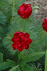 Double Fernleaf Peony (Paeonia tenuifolia 'Rubra Plena') at Make It Green Garden Centre