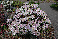 Helsinki University Rhododendron (Rhododendron 'Helsinki University') at Make It Green Garden Centre