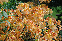 Golden Lights Azalea (Rhododendron 'Golden Lights') at Make It Green Garden Centre