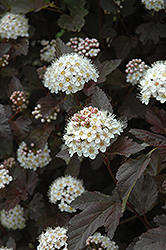 Diablo Ninebark (Physocarpus opulifolius 'Diablo') at Make It Green Garden Centre