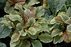Golden Glow Bugleweed (Ajuga reptans 'Golden Glow') at Make It Green Garden Centre