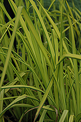 Bowles Golden Sedge (Carex elata 'Aurea') at Make It Green Garden Centre