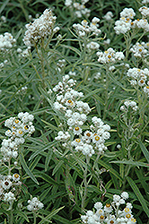 Pearly Everlasting (Anaphalis margaritacea) at Make It Green Garden Centre