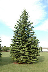 Colorado Spruce (Picea pungens) at Make It Green Garden Centre