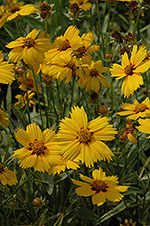 Tequila Sunrise Tickseed (Coreopsis 'Tequila Sunrise') at Make It Green Garden Centre