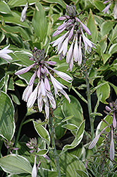 Francee Hosta (Hosta 'Francee') at Make It Green Garden Centre