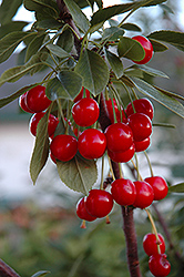 Evans Cherry (Prunus 'Evans') at Make It Green Garden Centre