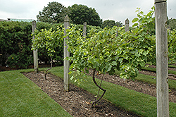 Marechal Foch Grape (Vitis 'Marechal Foch') at Make It Green Garden Centre