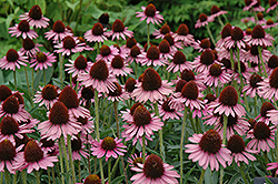 Pixie Meadowbrite Coneflower (Echinacea 'Pixie Meadowbrite') at Make It Green Garden Centre