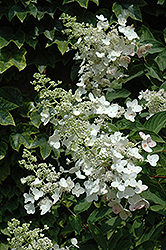 Unique Hydrangea (Hydrangea paniculata 'Unique') at Make It Green Garden Centre