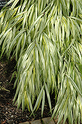 Golden Variegated Hakone Grass (Hakonechloa macra 'Aureola') at Make It Green Garden Centre