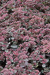 Vera Jameson Stonecrop (Sedum 'Vera Jameson') at Make It Green Garden Centre