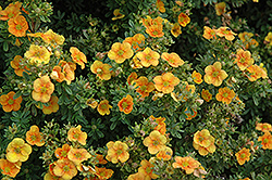 Mango Tango Potentilla (Potentilla fruticosa 'Mango Tango') at Make It Green Garden Centre